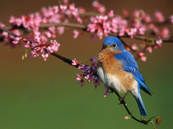 bluebird facts welcome to the bluebird society of pennsylvaniau002639s blue birds 600x450